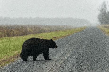 Bear-Crossing-Road-1