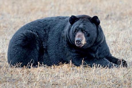 Black-Bear-at-Alligator-River-NWR