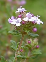 Time for Thyme; Thymus vulgaris c.t. Linalool