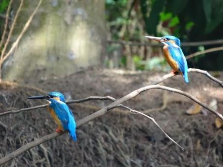 Kingfisher Birds in Alleppey