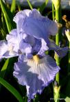 Garry Rogers Irises at Coldwater Farm