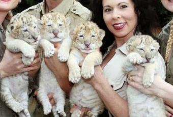 White Liger Cubs .....the Rarest of Big Cats Are Born ...  White Liger Cubs