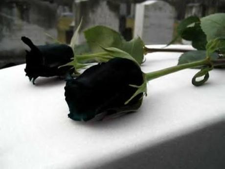 black roses3