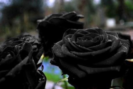 black roses1