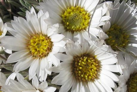 Daisies in Waiting
