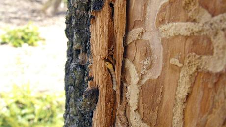 Emerald ash borer larvae damage the ash trees they live in.