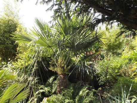 In Praise of the Humble Trachycarpus