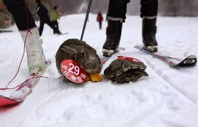fable repeats itself.... tortoise beats rabbit again - in a skiing race