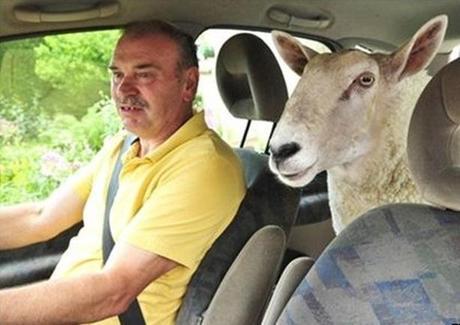 Sheep travailing in a car