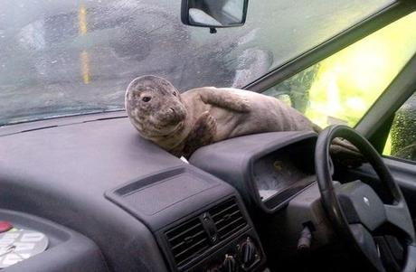 Seal travailing in a car