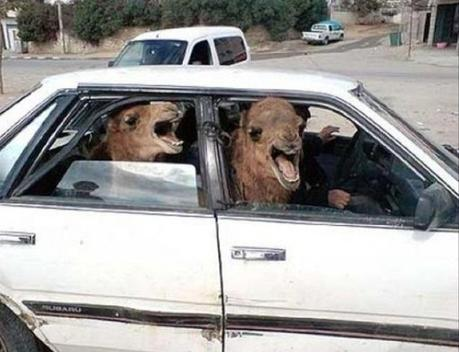 Camel travailing in a car