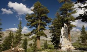 Large western white pines in California's Sierra Nevada mountains. A global study has found trees accelerate their growth as they get older and bigger. Photograph: Bob Gibbon/Alamy