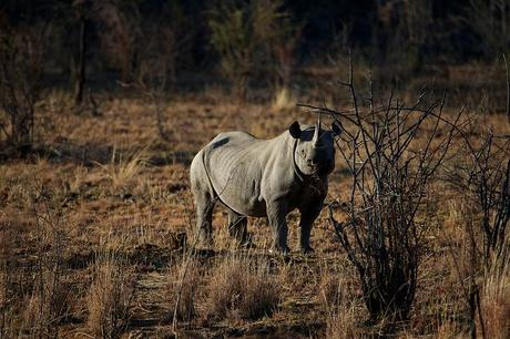 Black Rhino Hunting License Sold for $350,000