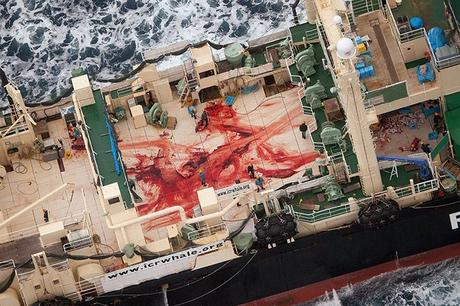 Japan: Crew members walk among bloody remains on the deck of Japanese ship Nisshin Maru where four minke whales were allegedly cut up. Sea Shepherd Australia claims the whales were killed and butchered in a whale sanctuary area of Southern Ocean. Photograph: Tim Watters/Sea Shepherd Australia/AFP/Getty Images
