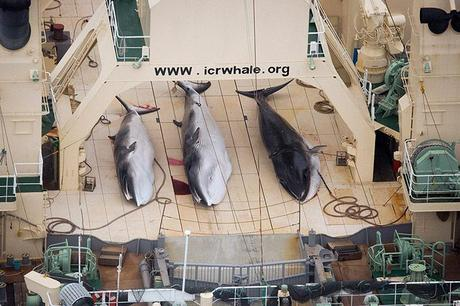Japan: Aerial footage released by the Sea Shepherd Conservation Society show three dead minke whales on the deck of the Japanese factory ship Nisshin Maru as it sailed in the Southern Ocean. The group said it had information that a fourth whale had also been killed. Photograph: Tim Watters/Sea Shepherd Australia/Reuters