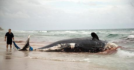 Florida, United States: A rescue official tries to remove a dead sperm whale washed up on a Boca Raton beach. Police say the whale was discovered on a river beach earlier. It wasn't clear if the whale had been injured or was sick. Photograph: J Pat Carter/AP