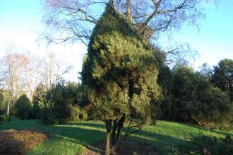 Juniperus phoenicea (30/01/2013, Kew Gardens, London)