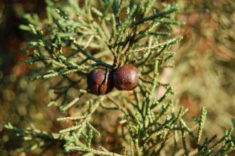 Juniperus phoenicea Fruit (30/01/2013, Kew Gardens, London)