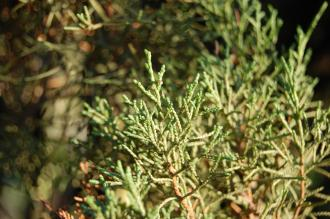 Juniperus phoenicea Leaf (30/01/2013, Kew Gardens, London)