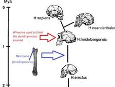 Surprising Human Hand Bone Challenges Evolution