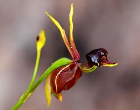 Flying Duck Orchid1