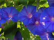 Morning Glories, Moonflowers, Sweet Potato Blossoms