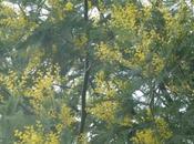 Mimosa Misery