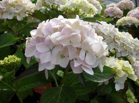 My favourite plant – The Hydrangea