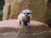 Cutest Baby Meerkat Pictures Entire Internet