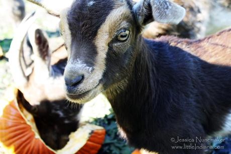 Indiana Pumpkin Patch: Norm's Pumpkin Patch in Lowell Feeding Goats