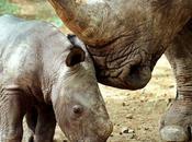 Javan Rhino Extinct Vietnam