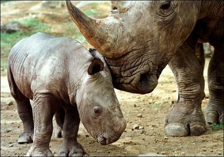 Javan rhino extinct in Vietnam