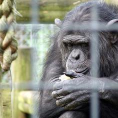 chimp (change.org)