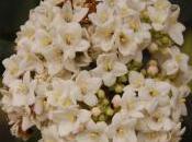 Plant Week: Viburnum Carlcephalum