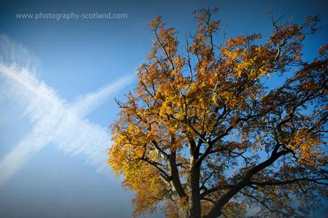 Photo - autumnal beech tree with saltire in the sky, Scotland