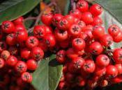 Plant Week: Cotoneaster Frigidus 'Cornubia'