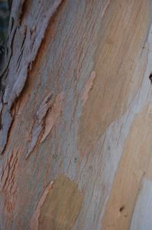 Eucalyptus gunnii bark (01/11/2011, London)
