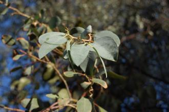 Eucalyptus gunnii leaf (01/11/2011, London)