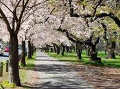 Cherry Blossom September