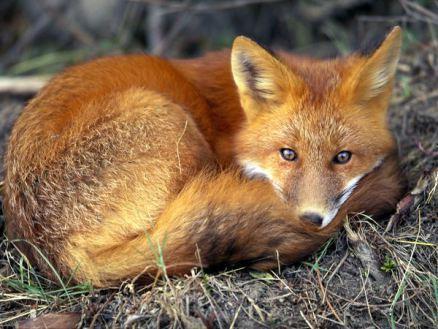red-fox_679_600x450 fox