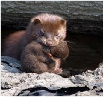 mink and baby