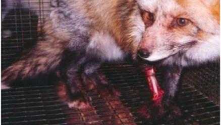 Mutilated fox
