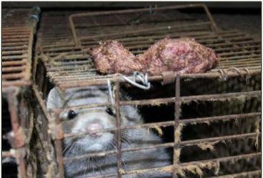 caged mink3