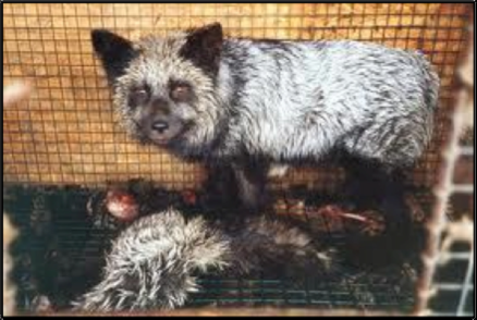 Racoon dog and dead