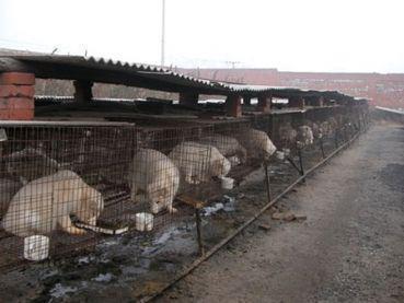 dogs on fur farm