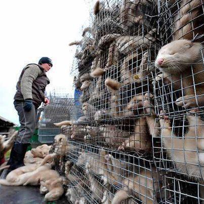 overcrowded minks