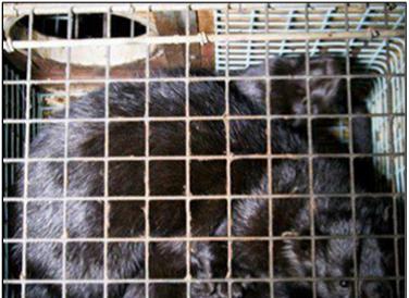 caged minks2