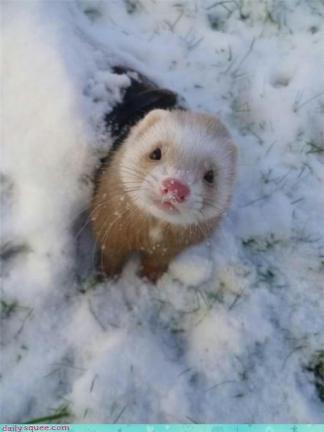 cute mink in snow