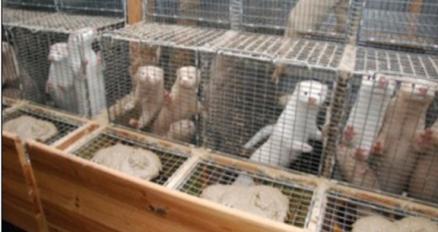 Caged Minks