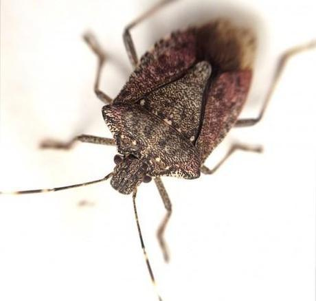 Why Is the Cold U.S. Winter Killing Off Stinkbugs?